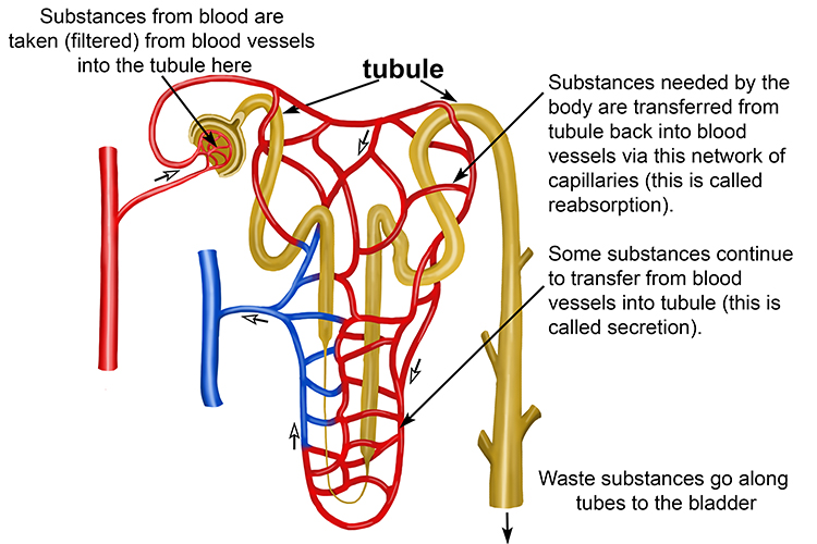 Detailed annotated diagram of the filtration structure of the nephron