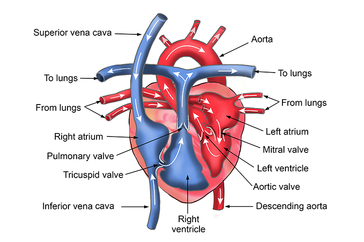 Image of the human heart with titles of the internal structure