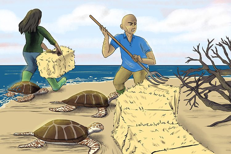 They positioned each bale very carefully so that the turtles couldn't go too far from the beach and get lost.