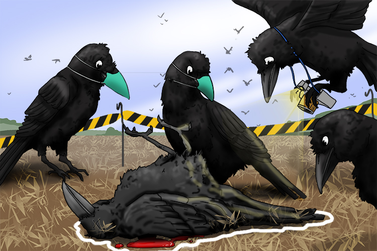 There had been a murder most foul. The crow crime scene investigation unit was quick to the scene.