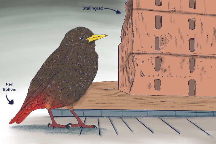 The starling had (Stalingrad) a red (soviet) bottom (Operation Uranus).