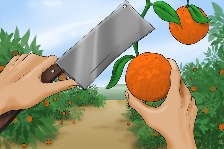 In Cleaver Land (Cleveland), the cleavers were mostly used for pruning the trees in an orange grove (Grover).