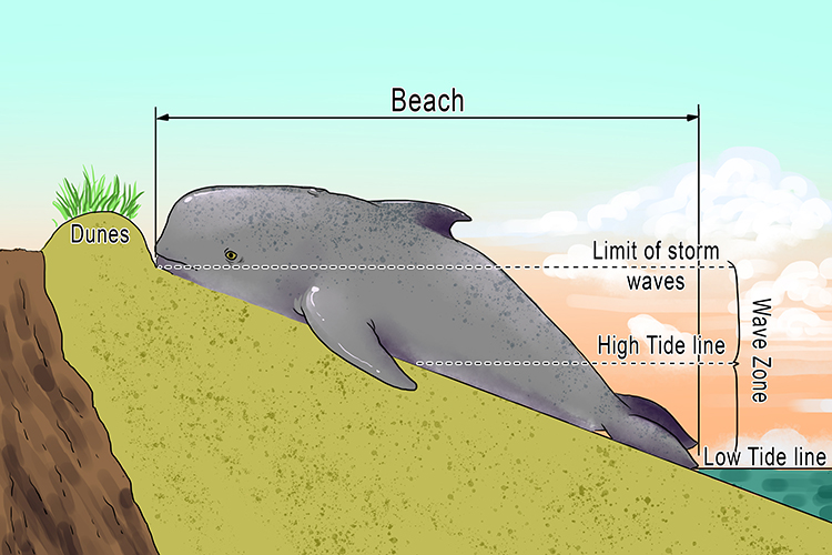 The beached (beach) whale was lying between the limit of the storm waves and the water line.