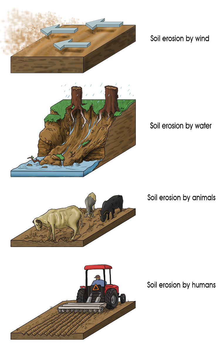 Top soil is eroded by animals, humans, wind and water: