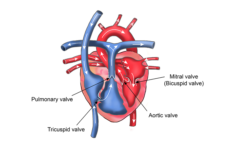 Diagram of the hearts chambers showing the structure of valves in the heart
