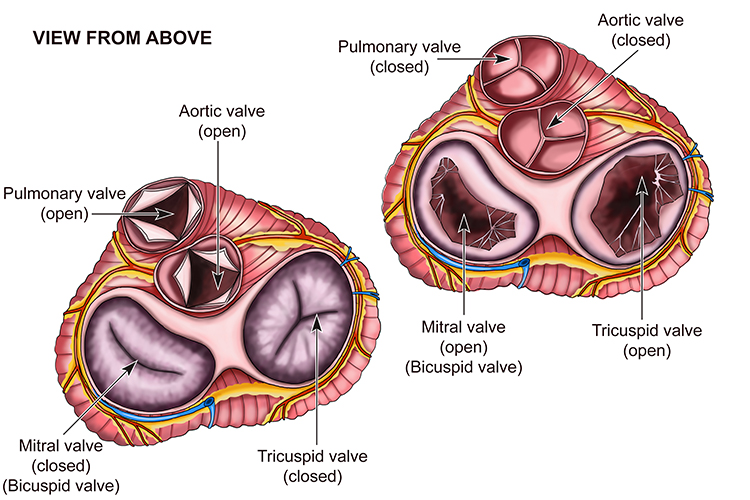Diagram showing Pulmonary, Mitral, Aortic and Tricuspid valves from above
