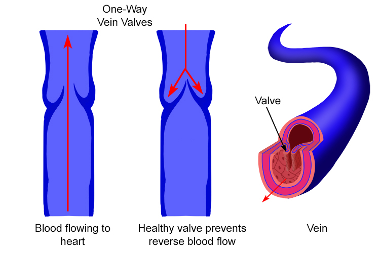 Labelled Diagram Of Vein Valves And Vein Artery Circuit