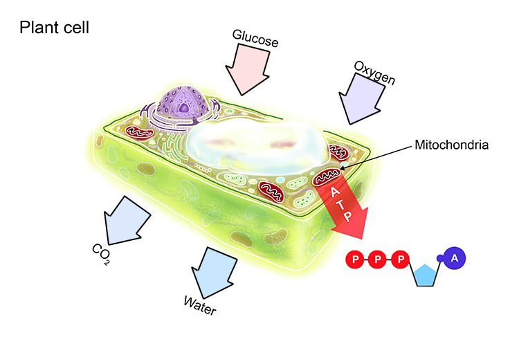 Diagram of a plant cell at night showing how it respires through mitochondria