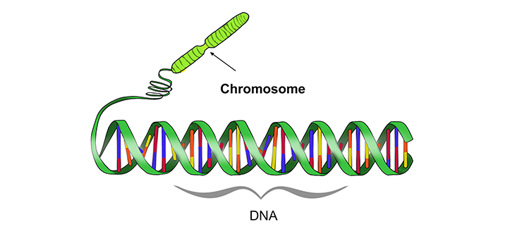 Chromosomes are made of coiled up strands of DNA