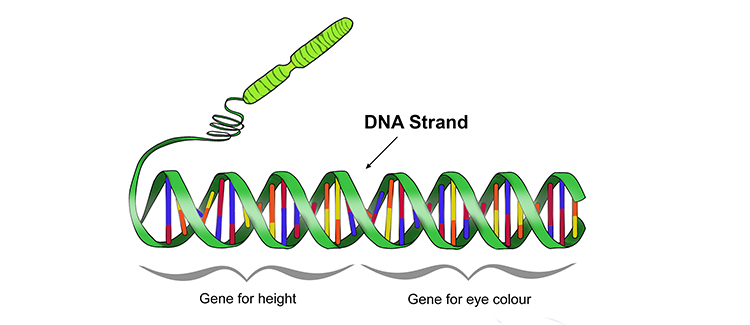 Sections of DNA are called genes that control characteristic development.