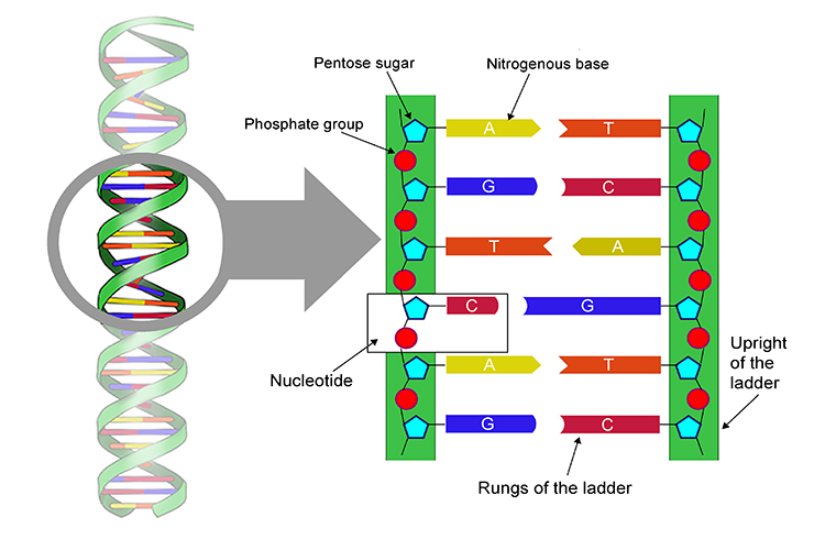 Annotated magnification of DNA showing its structure like rungs on a ladder