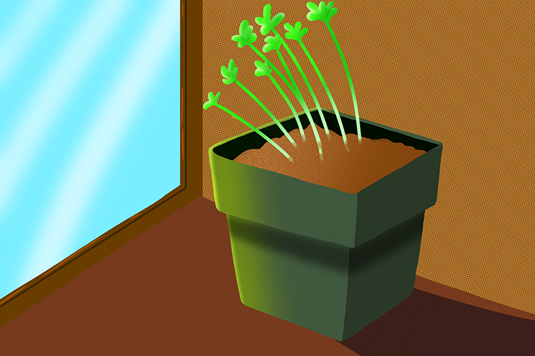 Example of indoor plants growing towards light because of phototropism