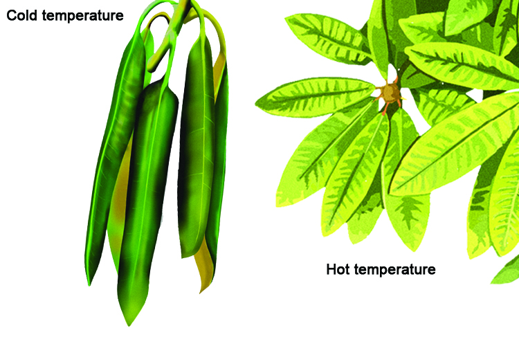 Thermotropism is the movement of a plant with response to temperature the rhododendron plant curls its leaves in cold and opens widely in warmth