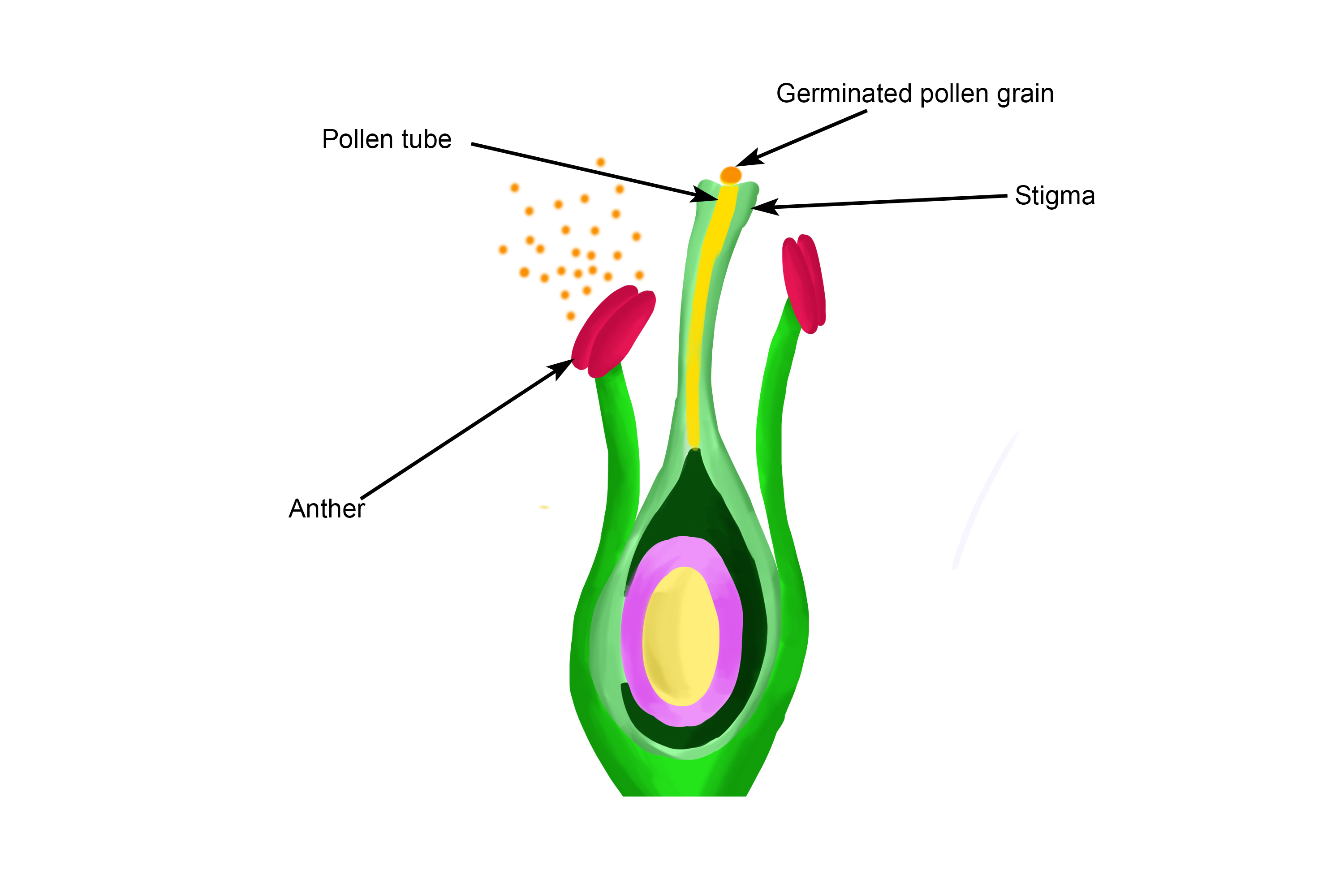 The pollen tube grows down from the stigma into the style
