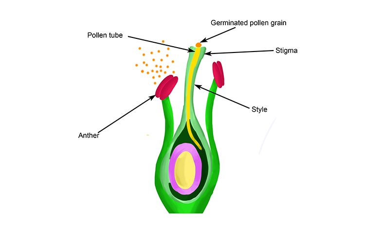 The pollen tube continues to grow through the style close to the ovary