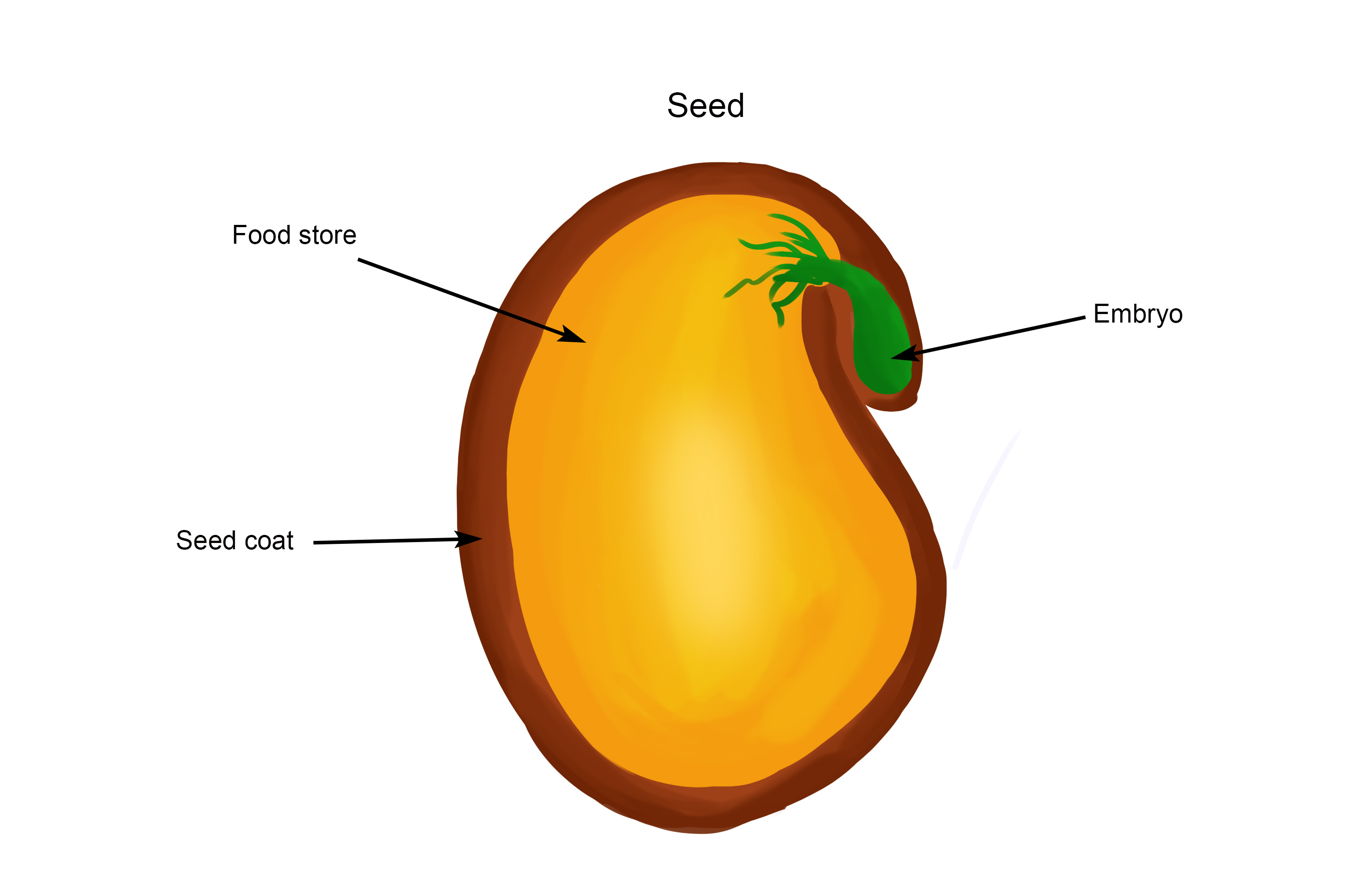 Once an egg is fertilized it becomes a seed the seed is sorounded by a food store that provides the embryo with enough food to continue growth