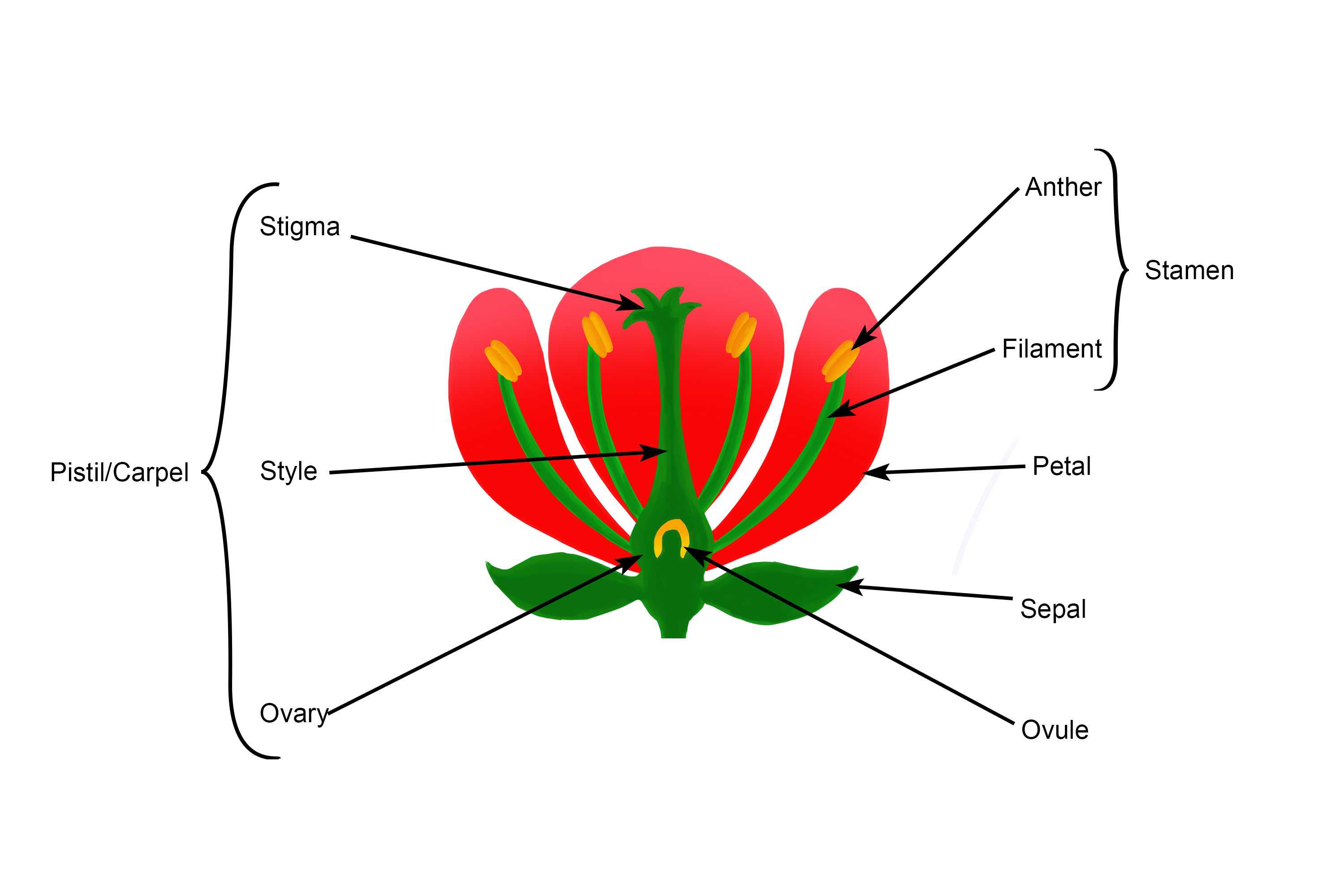 Annotated diagram of the male and female reproductive organs of a flower