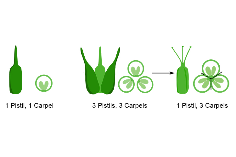 Examples showing some of the sequences pistils and carpels can have