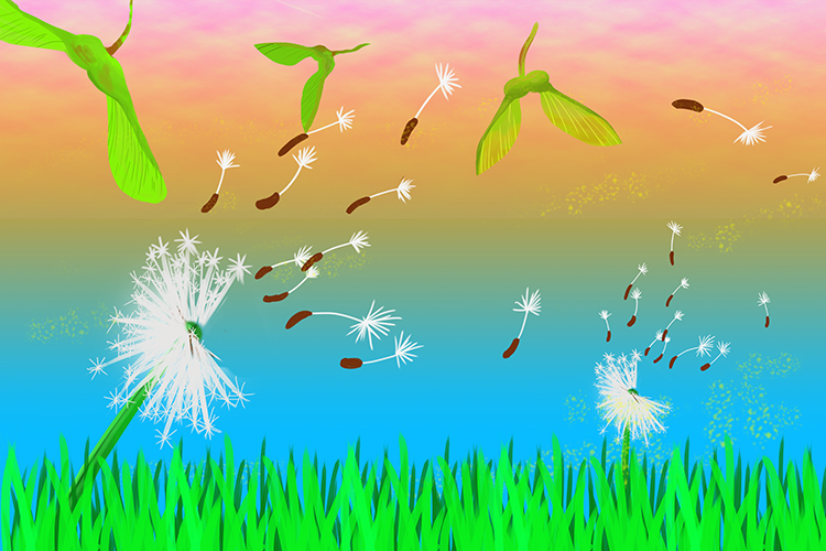 Seeds that disperse by wind can be varied but usually the seed creats a sail like structure that carries the seed away from the plant, common examples can be sycamore or dandelion seeds