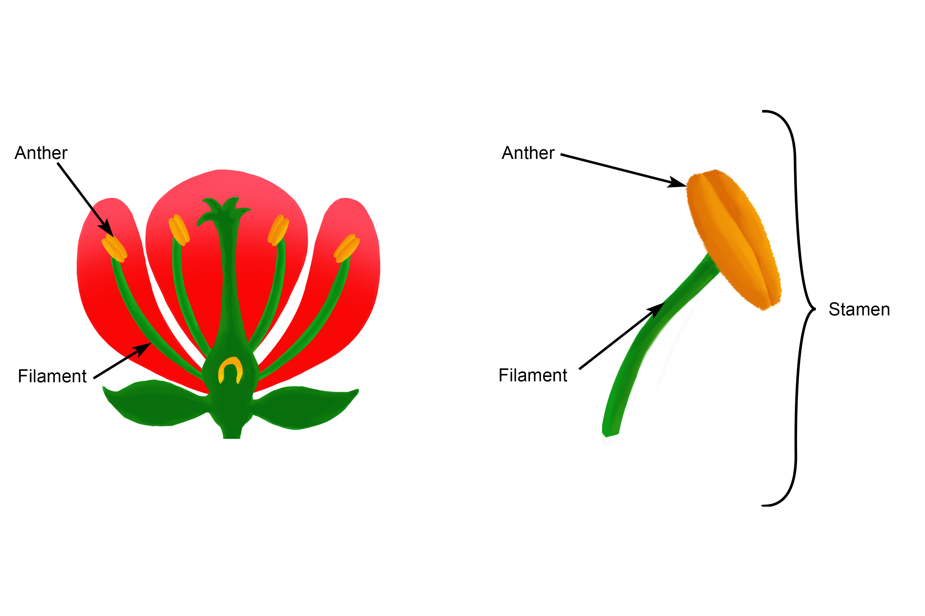 The anther is part of the male reproductive organ that is part of the stamen