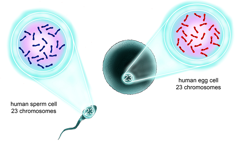 Human sperm and egg cells contain one set of 23 chromosomes through meiosis