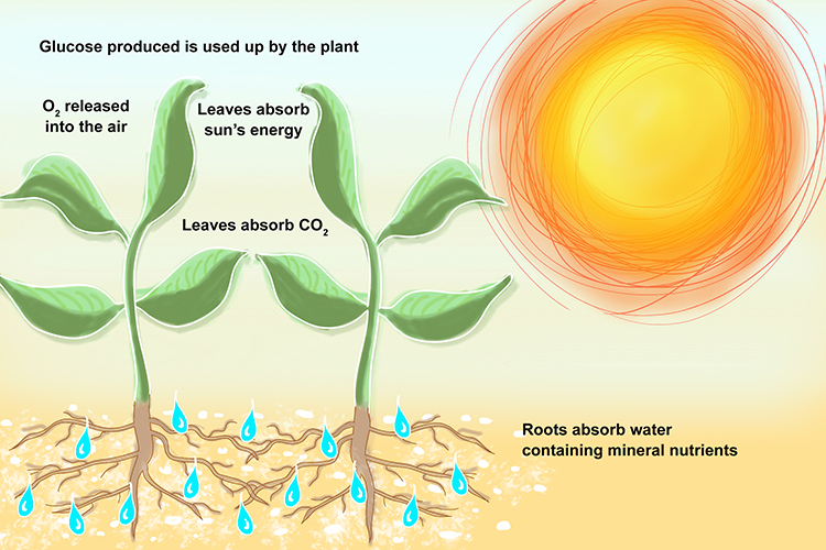 An info graphic showing how plants absorb the suns energy through photosynthesis and draw minerals through roots