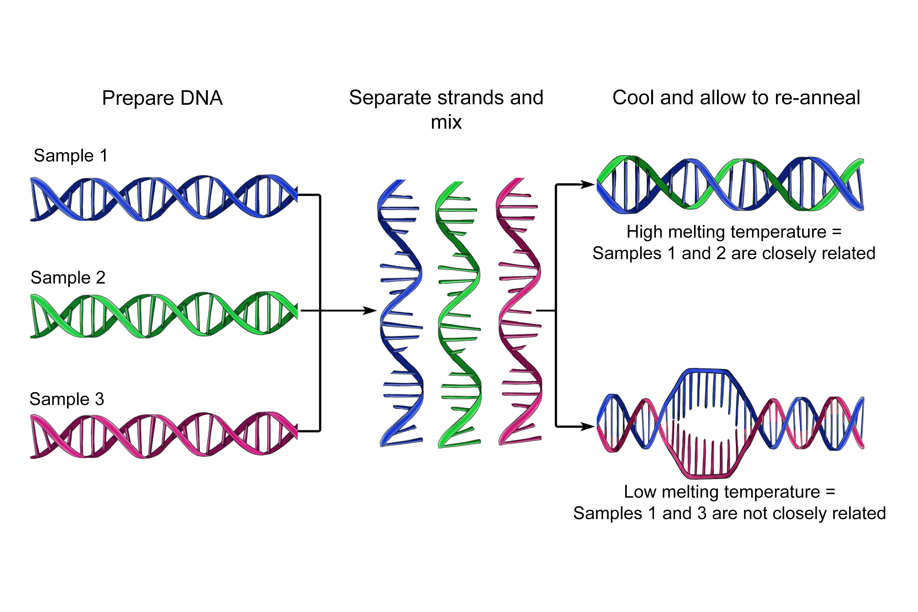 A detailed graphic showing the DNA hybridisation it is used to see how similar DNA is without sequencing