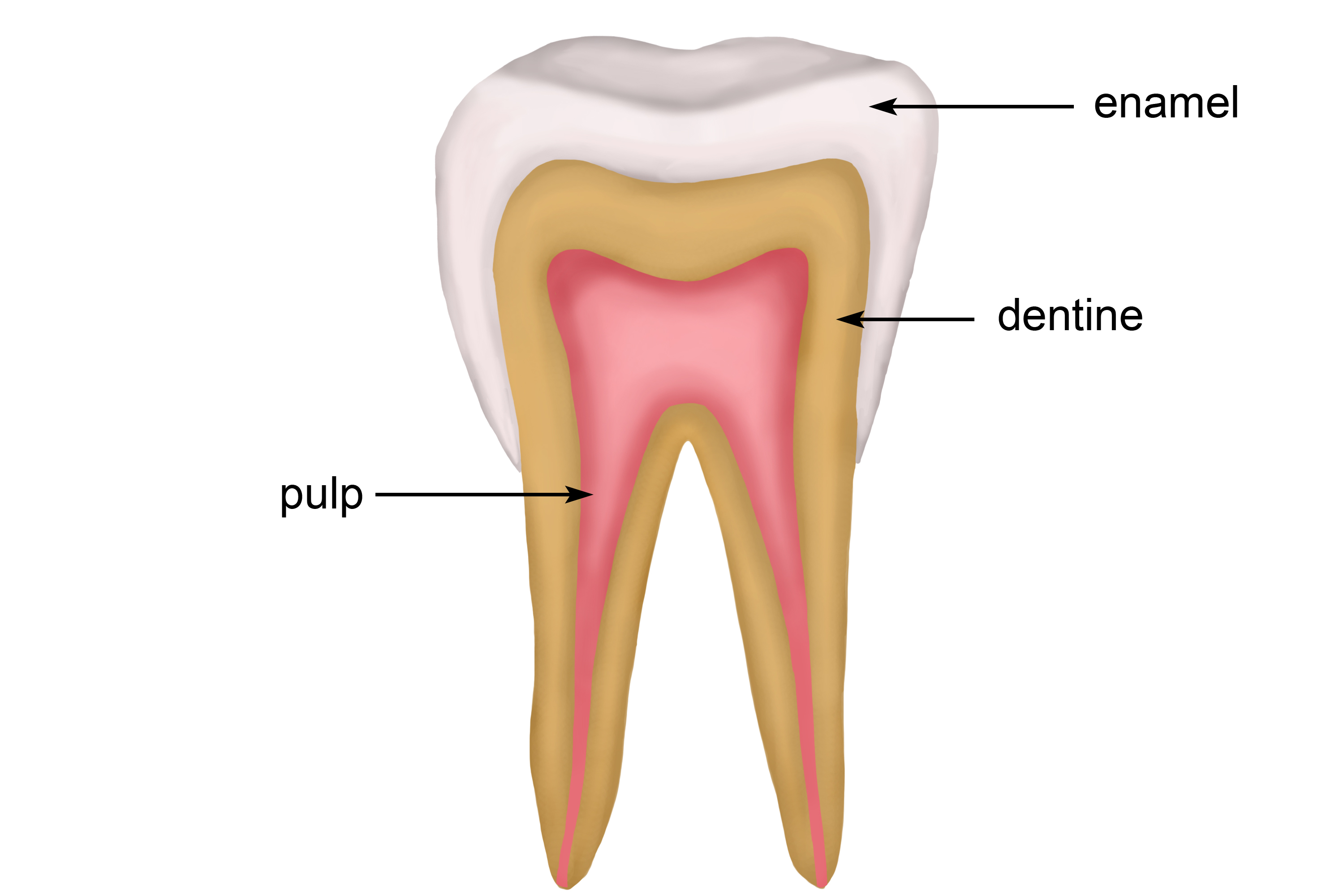 Structure of the tooth including enamel, dentine and pulp