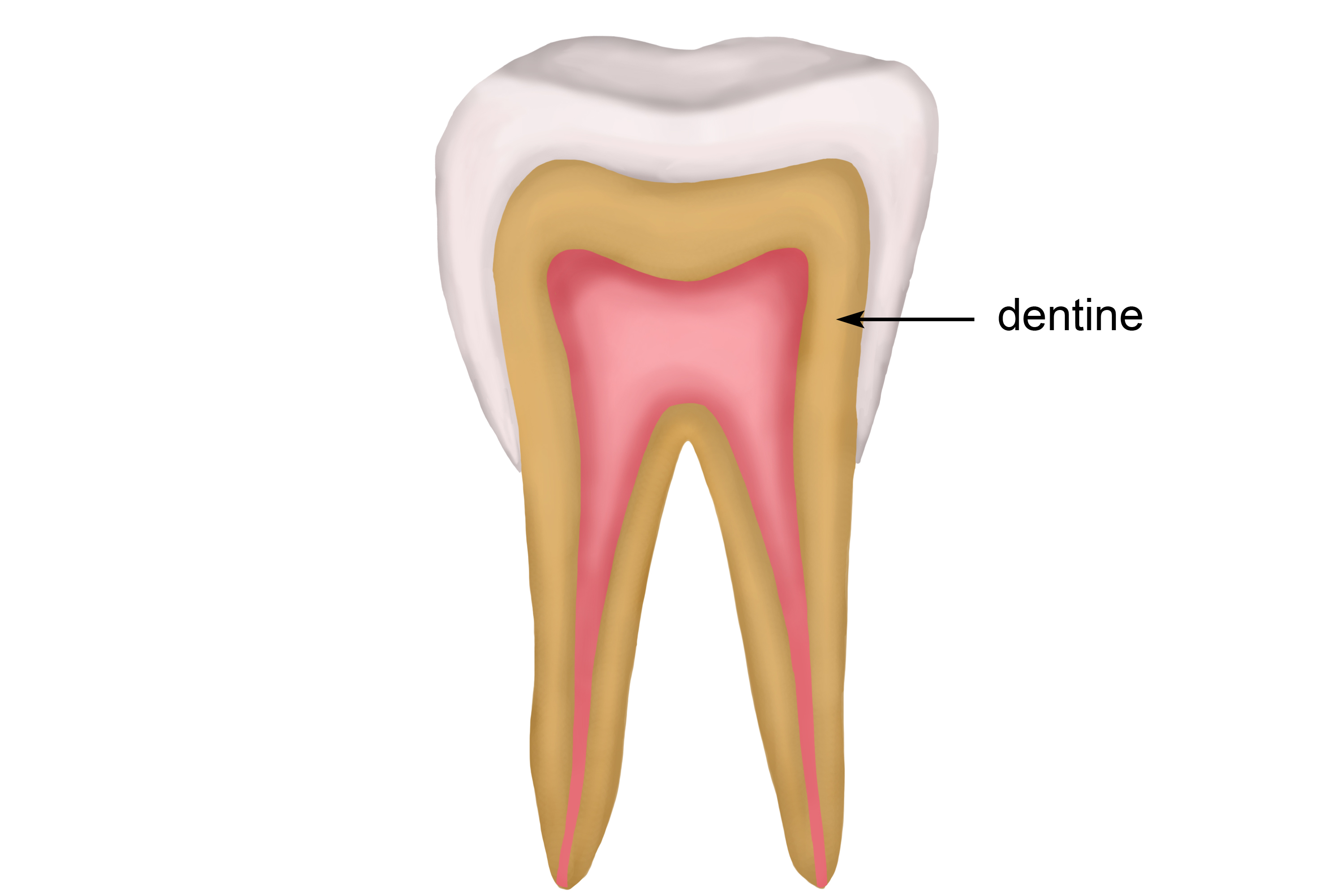 Main structure of the tooth which is harder than bone but softer than enamel