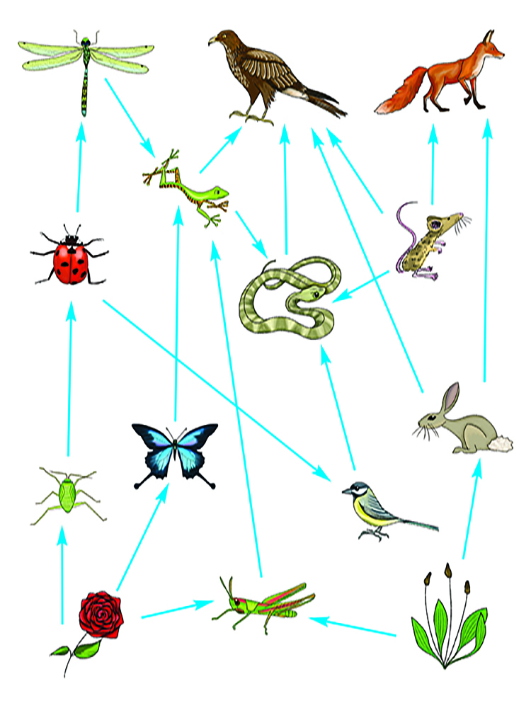 A food web shows the interconnecting diets of many animals