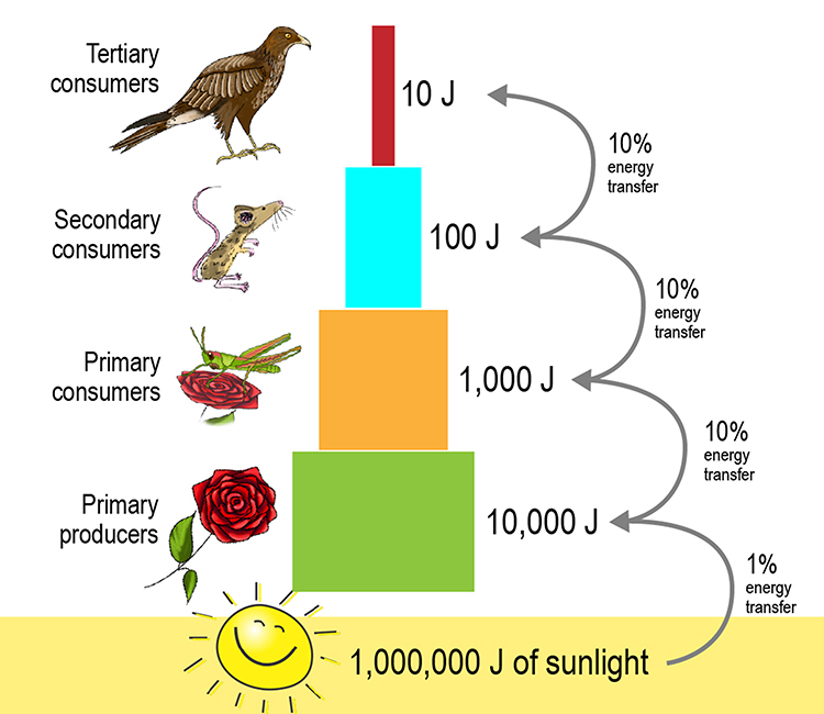 Energy pyramid with sunlight at the bottom and the producer next transferring less than 1% of the suns energy to create it, then the primary consumer transfers 10% of the producer and so on