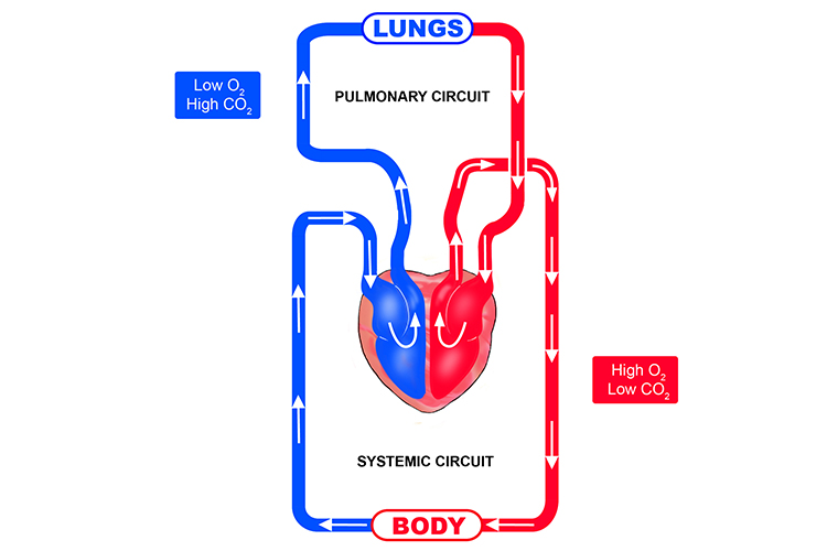 The Blood Flow In The Pulmonary And Systemic Circuits
