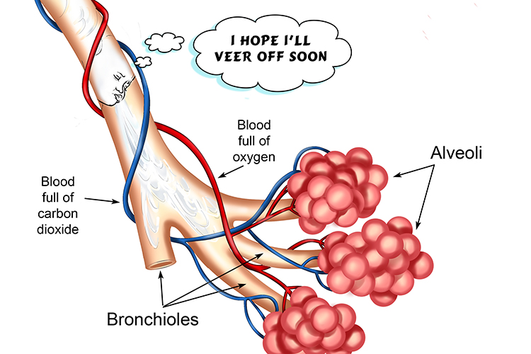 An Alveolus Is Where Oxygen Is Exchanged With The Blood