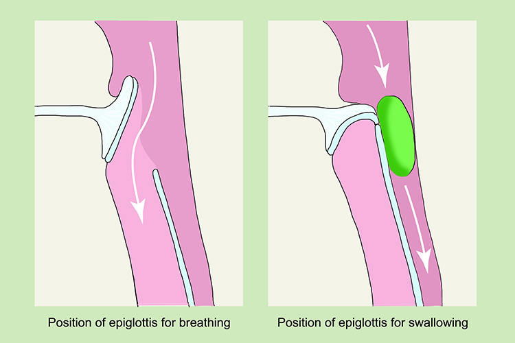Diagram showing the position of the epiglottis open and closed