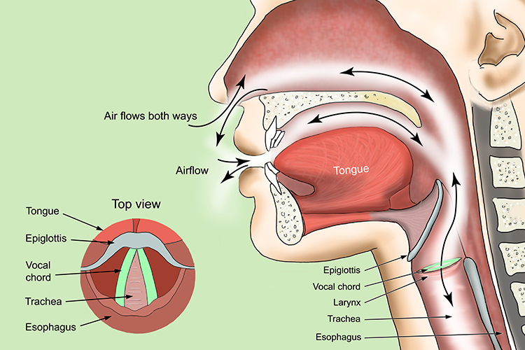 Detailed structure of the larynx position in the throat and what is contained in the larynx