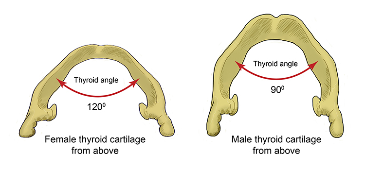 The angle of the thyroid cartilage for a female is 120 degrees where male it is 90 degrees, this is why more males have Adams apples than females