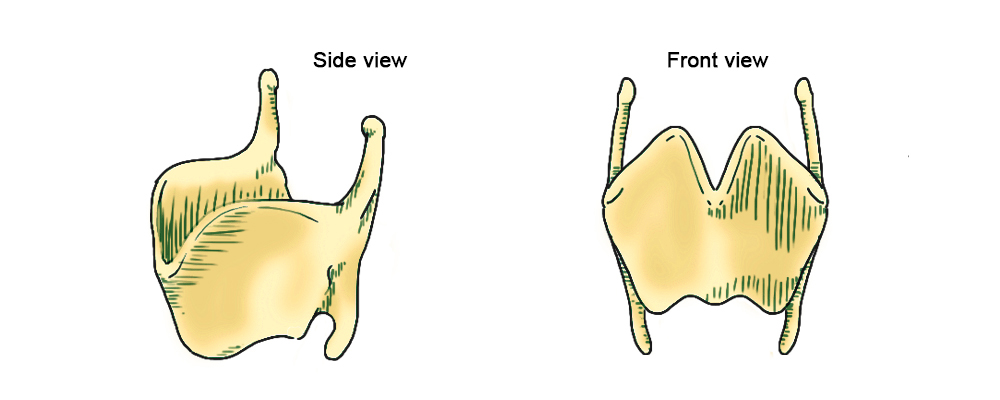 Front and side view of the thyroid cartilage