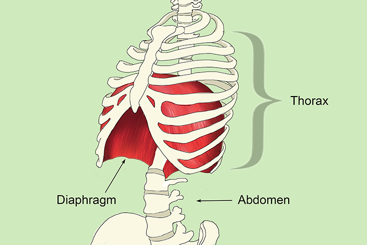 The Thorax Is Part Of The Body Between Neck And Diaphragm