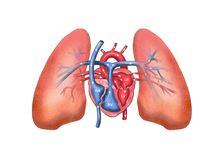 The thorax contains the heart and lungs