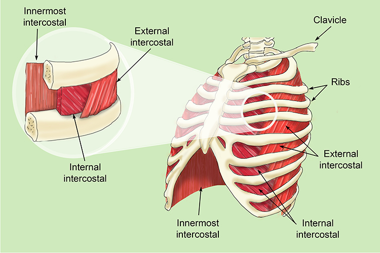 The intercostal muscles allow ribs to move while breathing