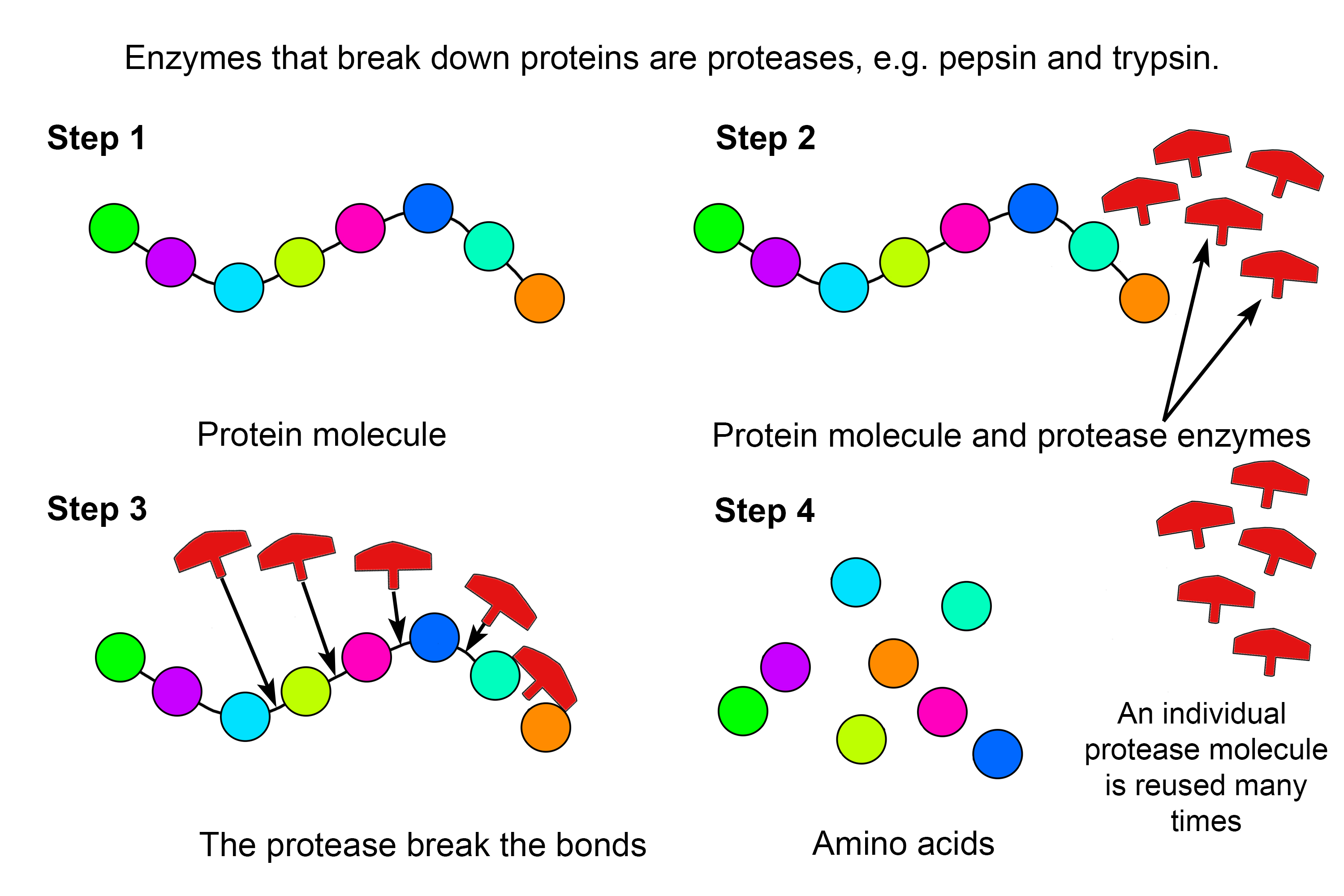 Example Of How Protease Enzymes Break Down Proteins