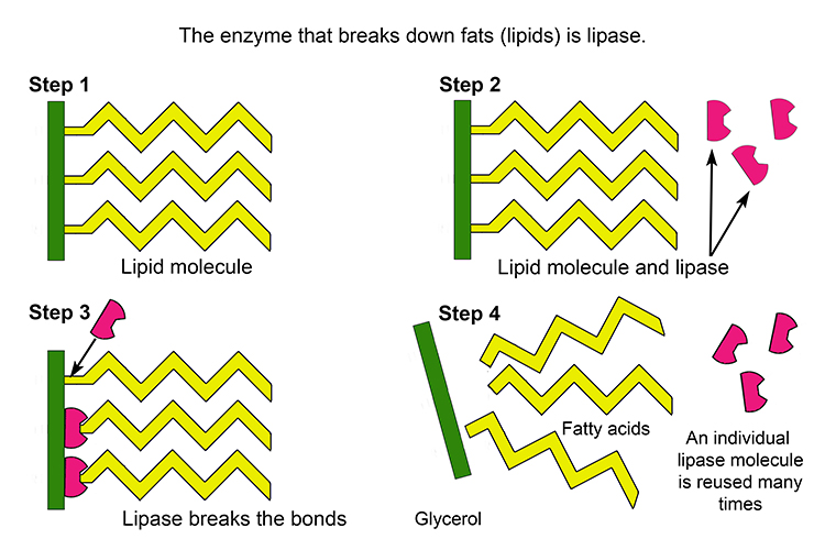 Example Of The Enzyme Lipase Breaking Up Lipids