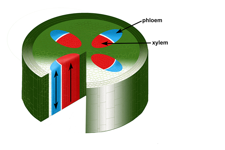 Cross section of a stem showing the xylem and phloem tubes, showing the directing of flow