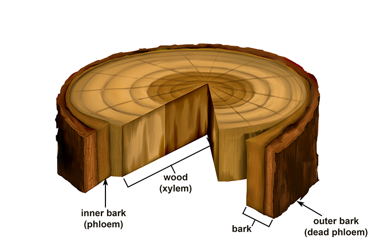 Xylem is the wood, the inner bark is the phloem and outer bark is dead phloem