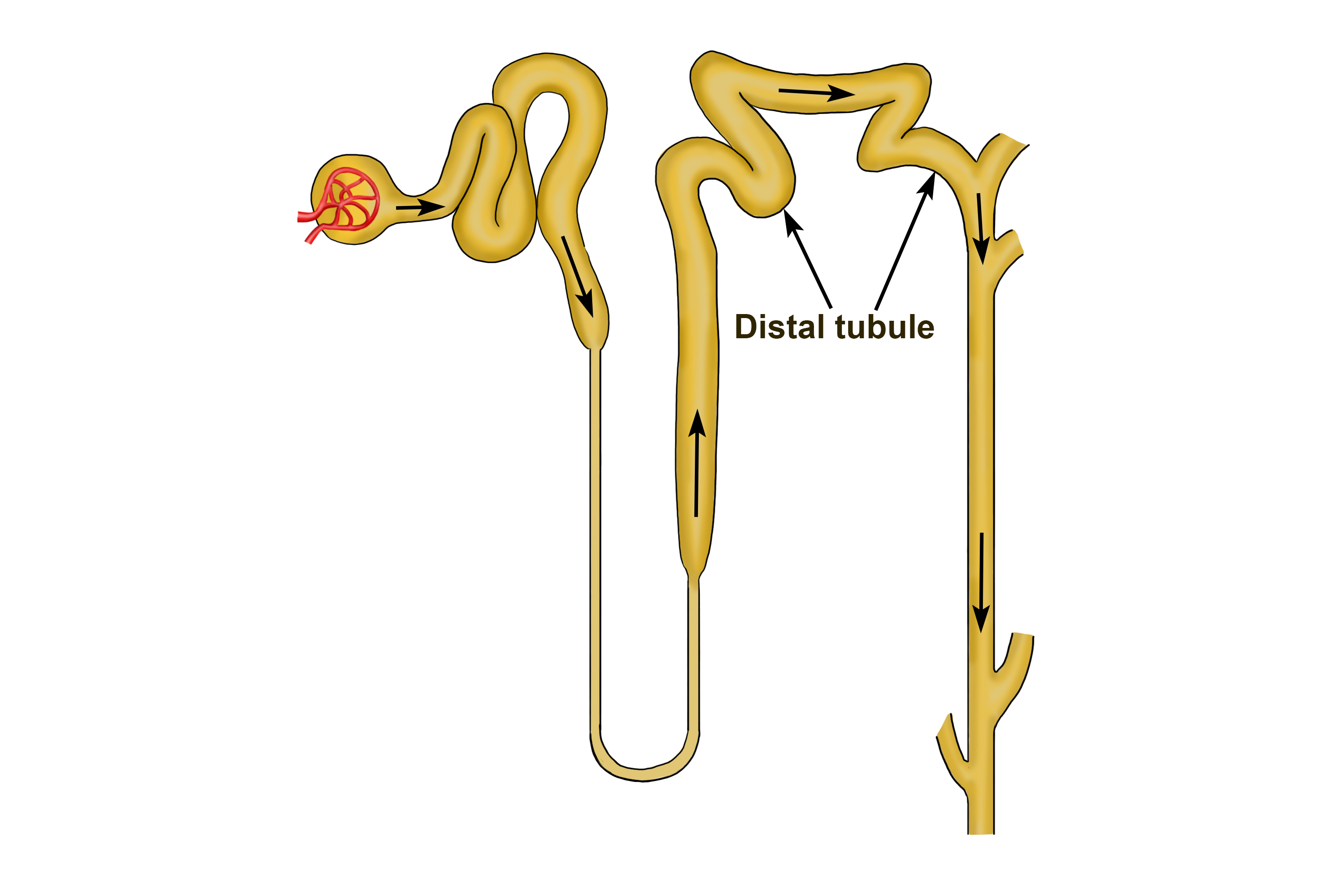 Tubules Are Very Narrow Tubes That Take Waster Out Of Blood