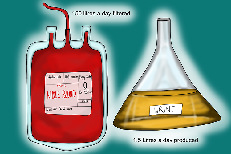 150L of blood are filtered and 1.5L of urine are produced in a day from the kidney