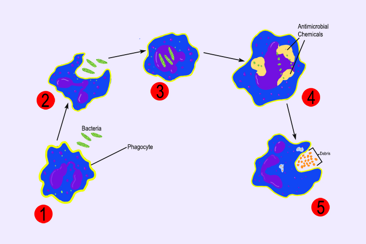 Diagram showing the stages a phagocyte white blood cell destroying pathogens through phagocytosis