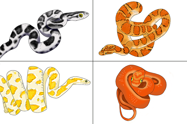 The skin colour of corn snakes can be affected by mutations.