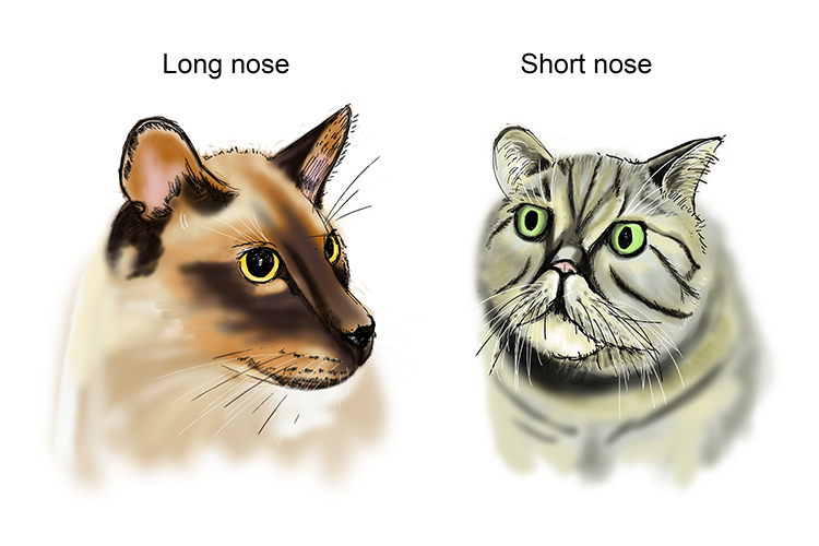 Cats have a phenotypic variation with there long and short noses