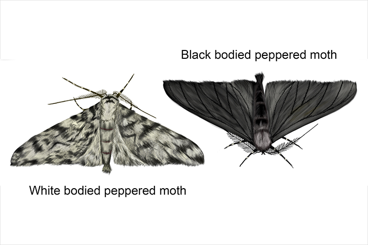 During the industrial revolution black moths were successful over white moths at they were camouflaged against soot covered trees and buildings